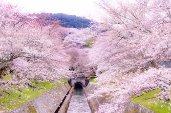 9659-琵琶湖疏水の満開の桜 (350x233)