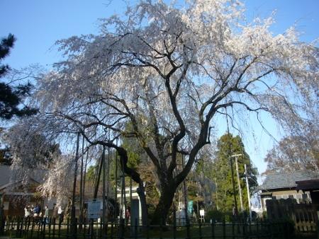 しだれ桜(足羽神社) (450x338)