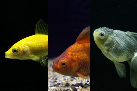 さまざまな色の金魚たち (450x300)